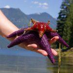 T bay Starfish